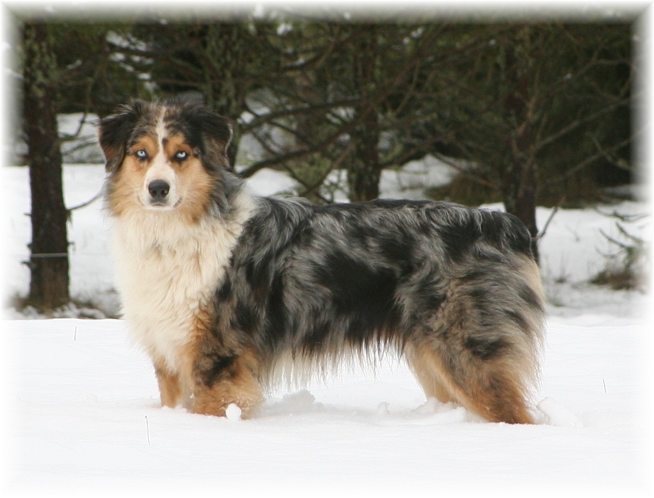 Websites australian shepherd club of america australian shepherd
